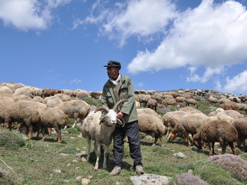 Goat-with-4-horns-Shahsevan